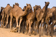 Camel at the Pushkar Fair in Rajasthan, India