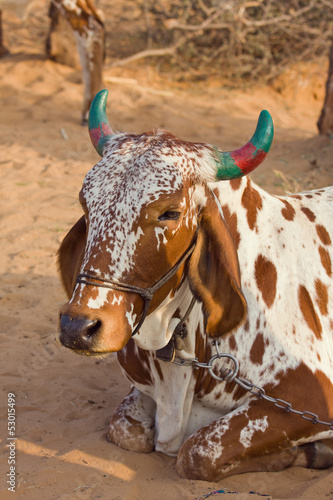 Cow, Pushkar , India .