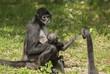Black -handed spider monkey