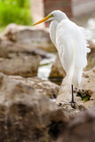 Portrait of great egret, Ardea alba, perched on rocky lakeshore poster