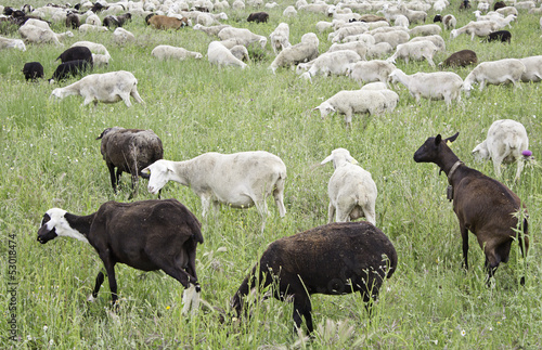 Goats in meadow