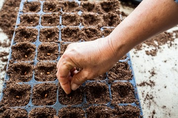 Sowing watermelon seed on tray
