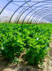 Celery greenhouse culture