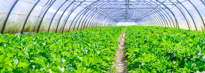 inside view of an greenhouse where grows celery