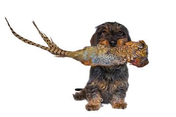 Rauhaardackel mit Fasanendummy im Fang