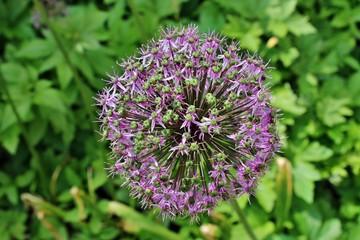 Zierlauch Allium