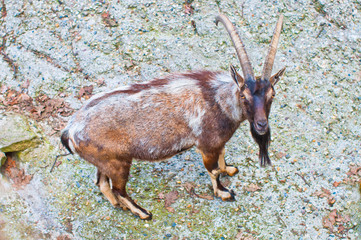 image of a mountain goat