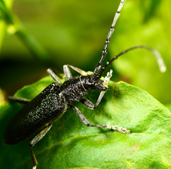 Macro beetle of family Cerambycidae