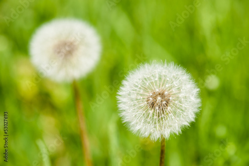 dandelions on grass background