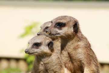 suricates