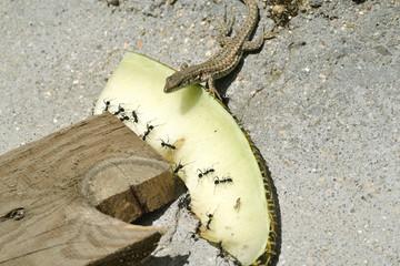 Lagartija mirando a las hormigas en el melón