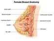 Постер, плакат: Female Breast Anatomy