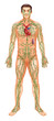������, ������: Lymphatic System