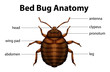 Bed Bug Anatomy