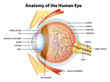 Human eye anatomy - 53031874