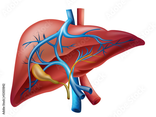 Internal liver