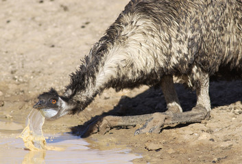 Emu drinking at a waterhole