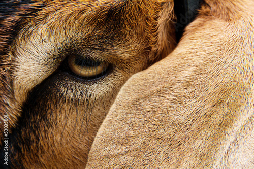 close up image of goat face