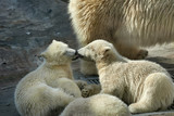 Love licking of polar bear siblings