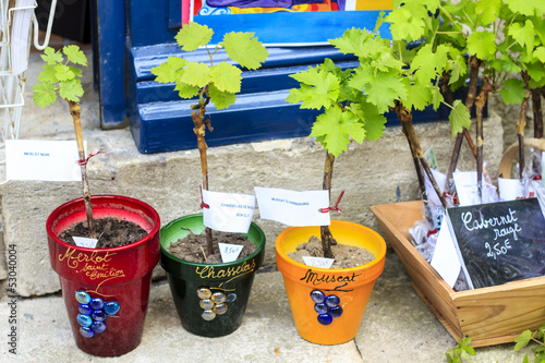 Young grape vines for sale