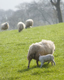 Healthy sheep and livestock, Idyllic Rural, UK