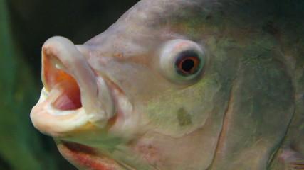 big siamese carp close-up underwater