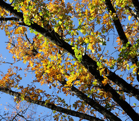 Oak branches with colourful autumn leaves