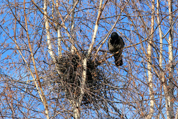 crow at a nest