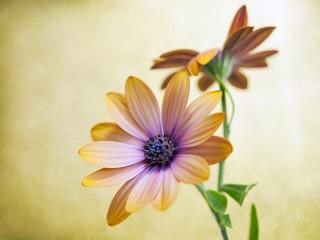 flower Dimorfoteca