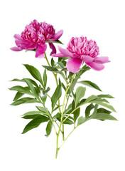 two peony flower