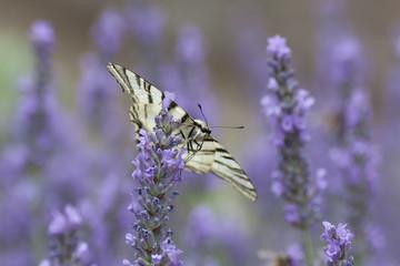Papillon: flambé