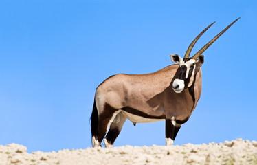 Oryx grazing in the desert