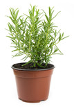 fresh rosemary in a pot isolated on white background