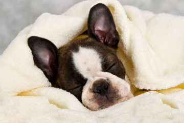 Boston terrier sleeping in white towels