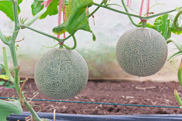 Hanging Japanese melons in melon orchard