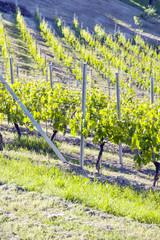 Monferrato early vineyard in springtime color image