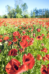 Field of wild red poppies color image