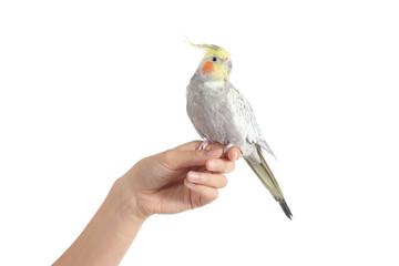 Woman hand holding a beautiful cockatiel bird