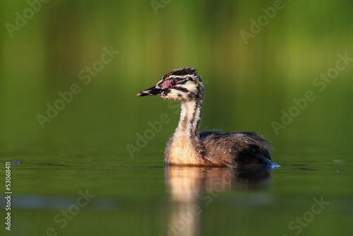 Great Crested Grebe Podiceps cristatus young bird