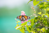 Black Veined Tiger Butterfly basking in the sun on pink flowers