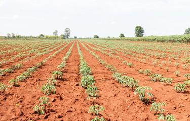 Cassava plant field in Thailand