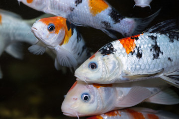 Koi fishes in an aquarium