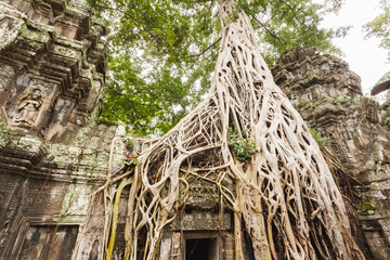 Ficus Strangulosa tree growing over a doorway in the  Ta Prohm a