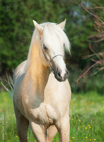 palomino welsh pony stallion