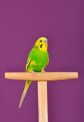 Yellow-green budgerigar parrot perched on a stand
