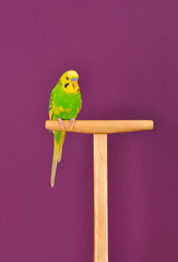 Budgerigar parrot perched on a stand