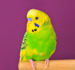 Motley budgerig parrot closeup perched on a stand
