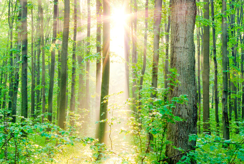 Morning sun rays in summer in the forest.