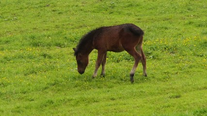 Brown foal pees on the meadow.