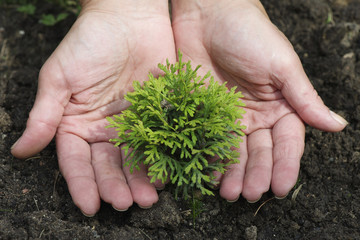 Women's hands are planting small thuja